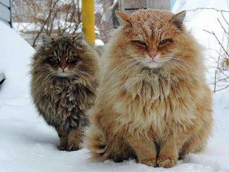 Норвежские лесные кошки