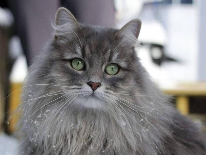 Сибирские кошки