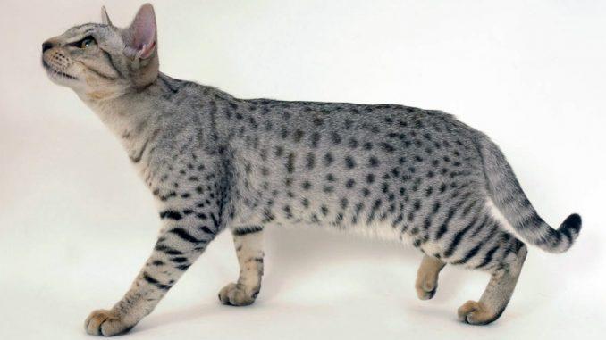 кошка-оцелот
