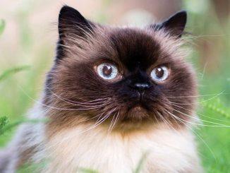 Гималайские кошки
