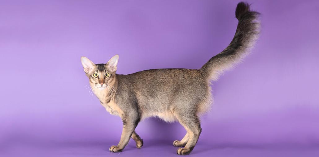 ориентальные длинношерстные кошки