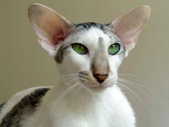 ориентальные короткошерстные кошки