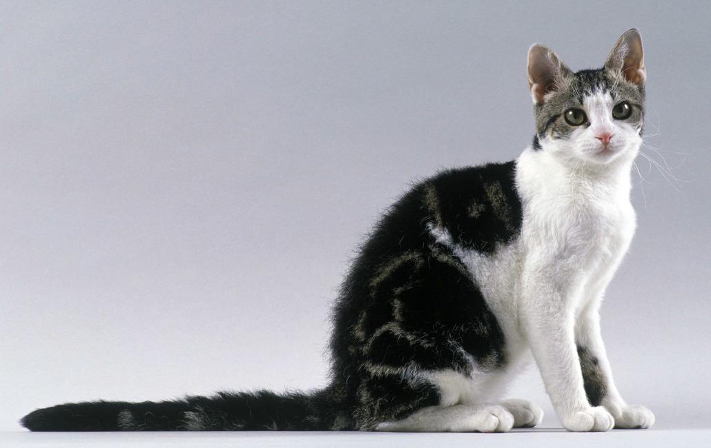 американские жесткошерстные кошки