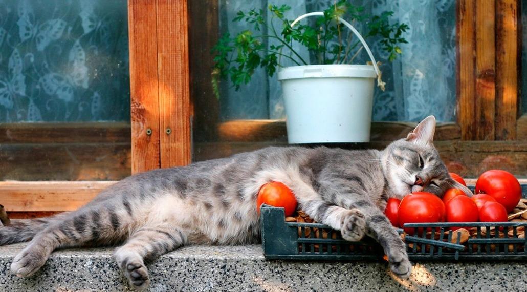 кошка и помидоры