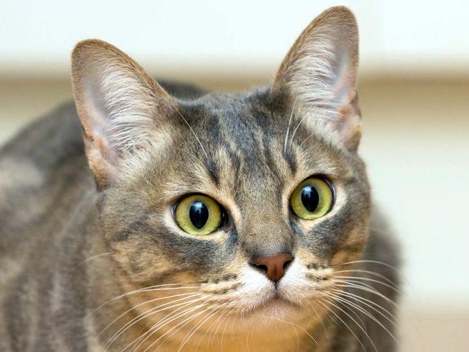Австралийская дымчатая кошка (мист)