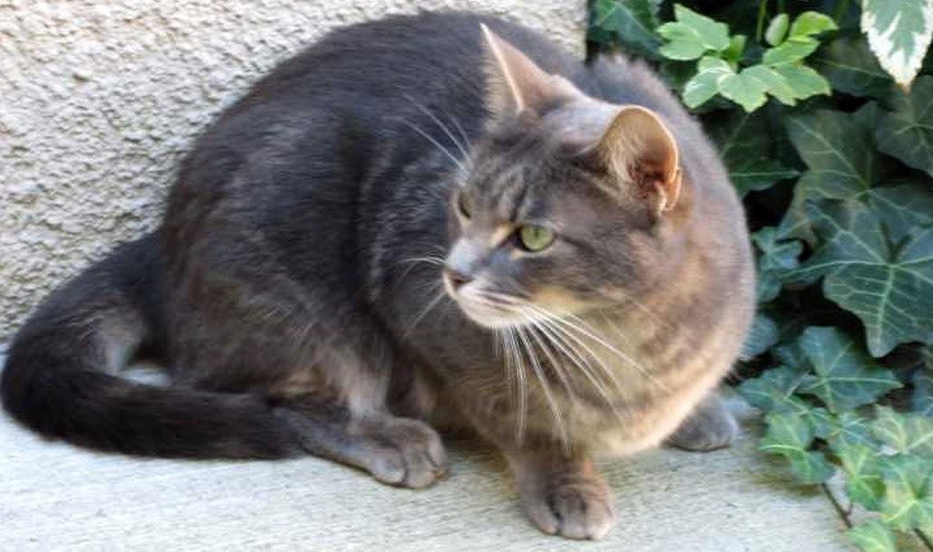 Бразильские короткошёрстные кошки