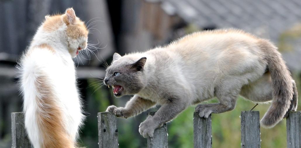 кошки орут во время драки
