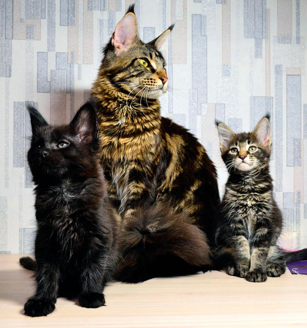 кошка и котята мейн-кун