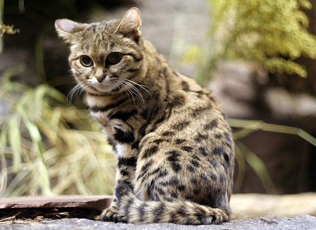 черноногая кошка