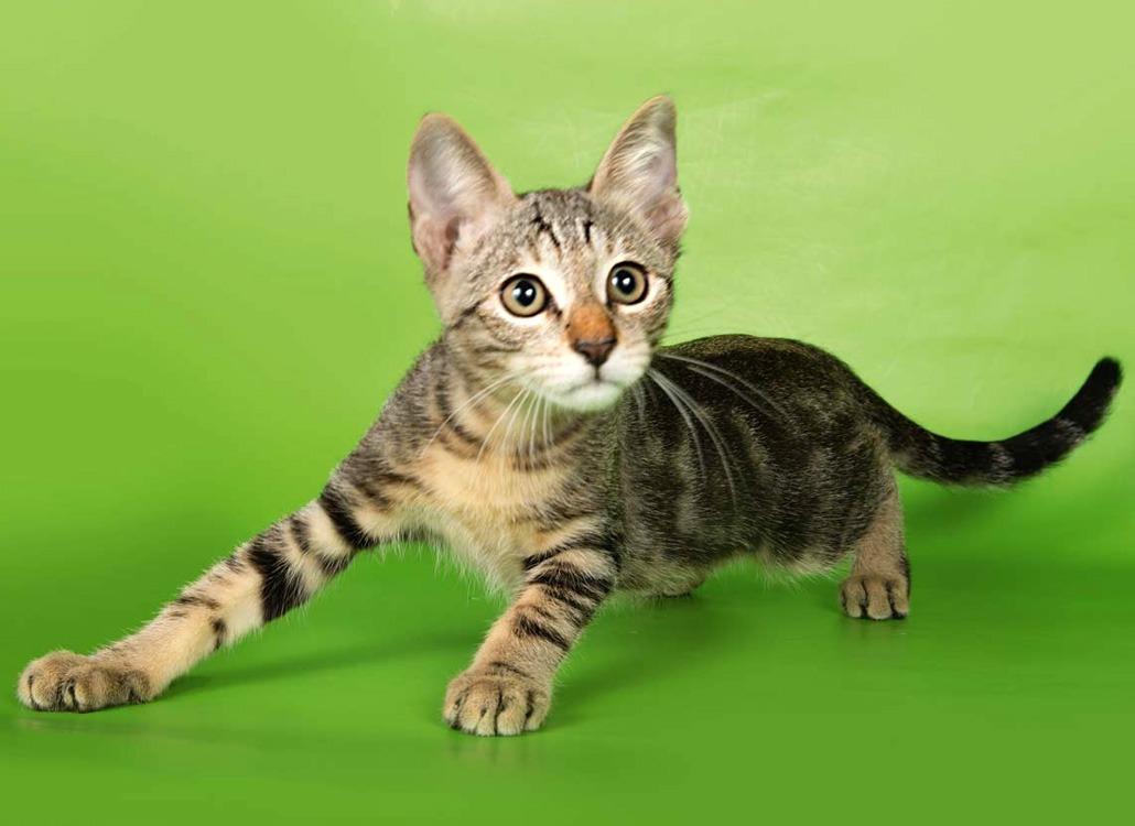 африканская короткошерстная лесная кошка