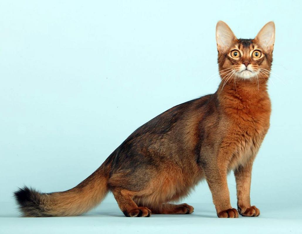 кот сомали