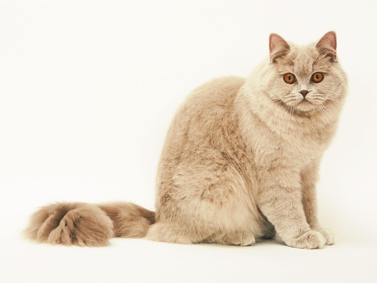 британский длинношерстный кот