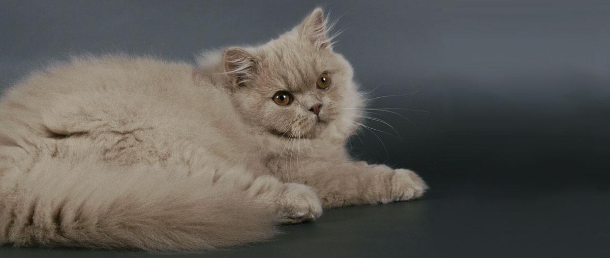 Роскошная британская длинношрстная кошка