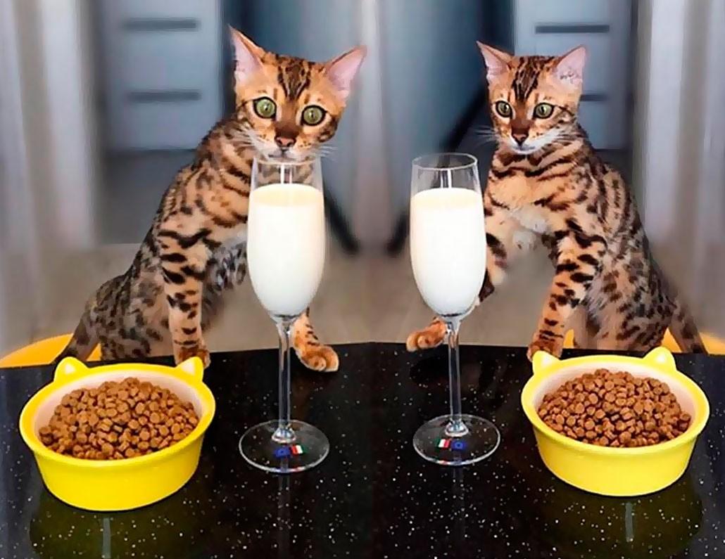 кормление бенгальских кошек