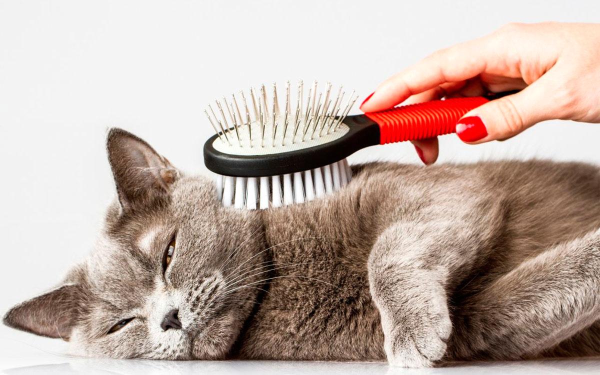 уход за британским короткошерстным котом