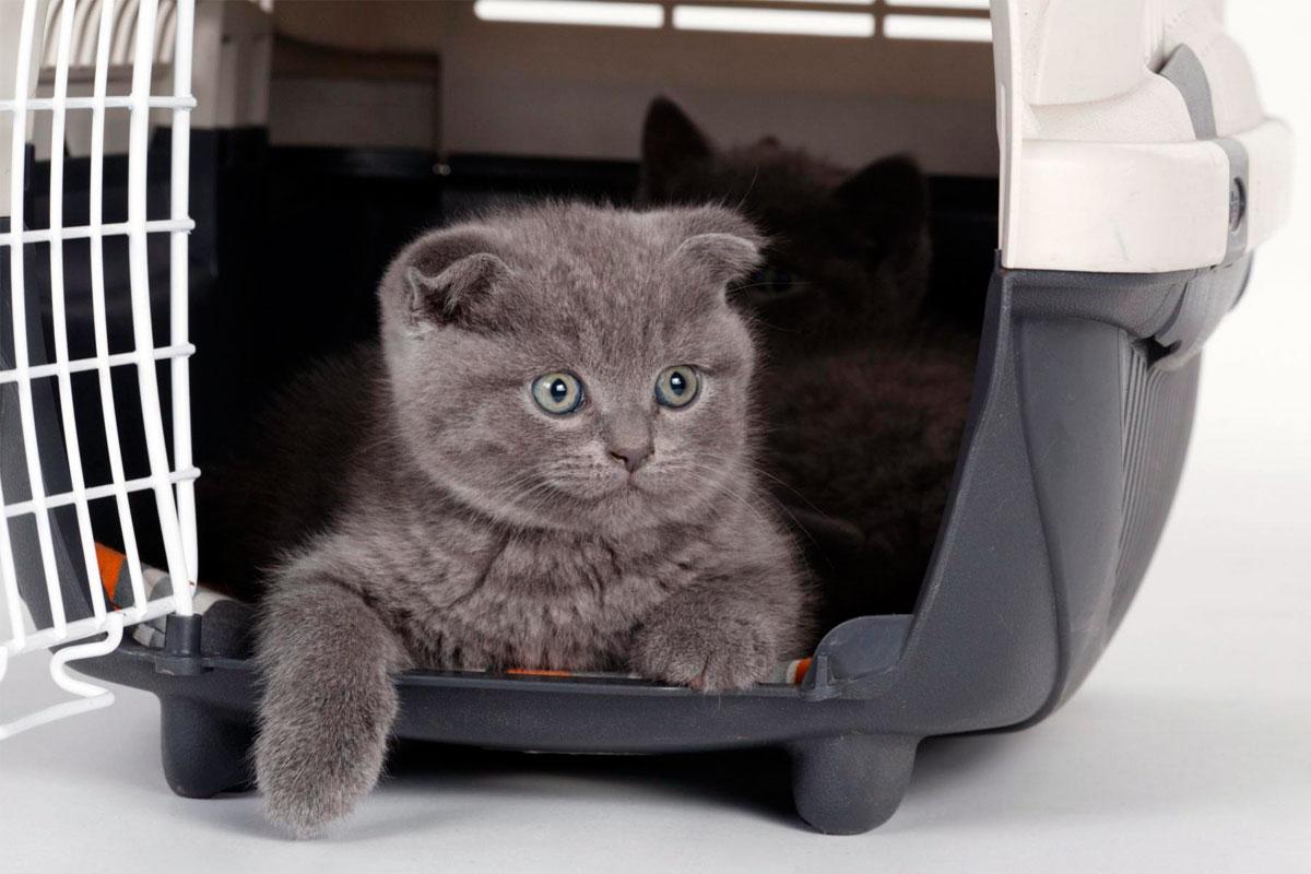 покупка британского короткошерстного котёнка