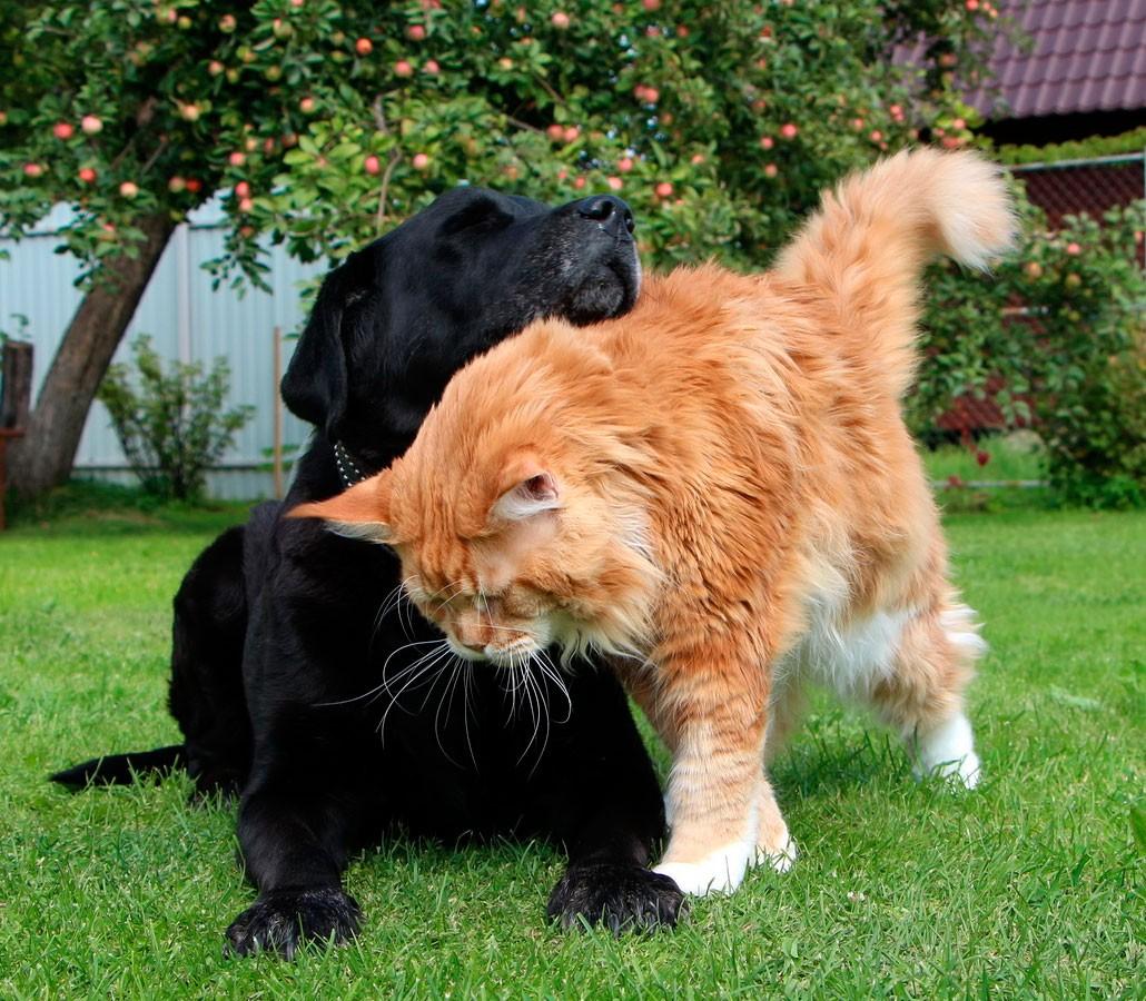собака и мейн-кун