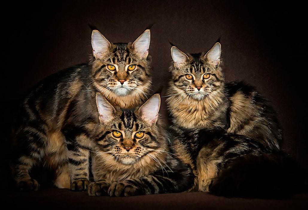 интересные факты о котах и кошках мейн-кун