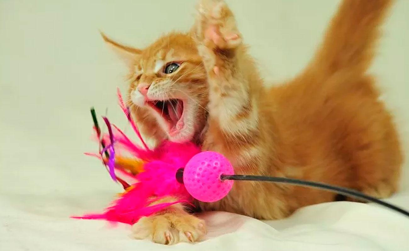 игривый котёнок мейн-кун