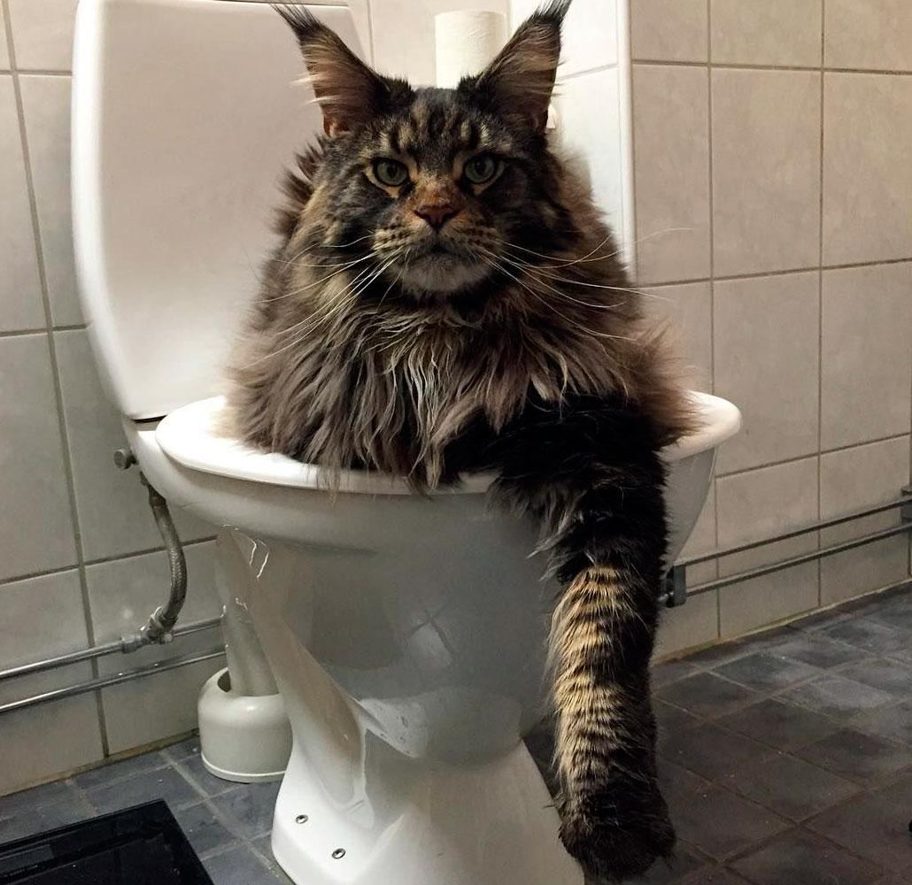 туалет для мейн-куна