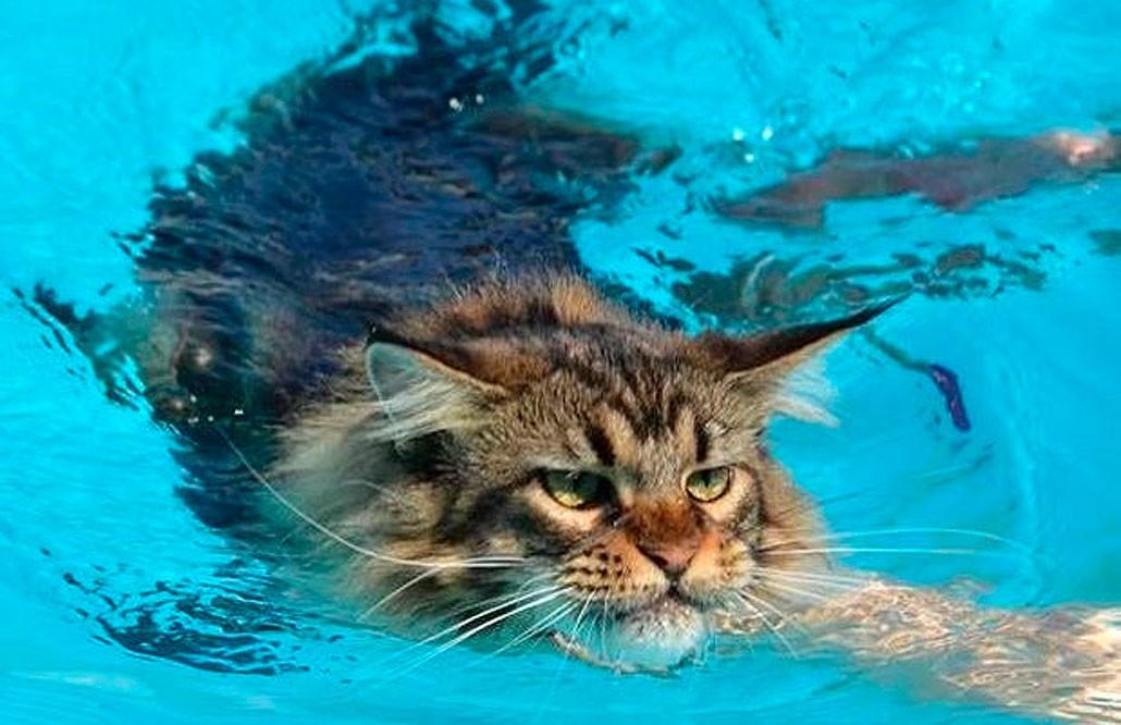 купание мейн-куна