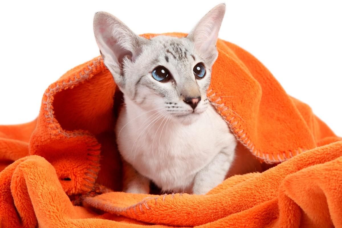 уход за сиамской кошкой