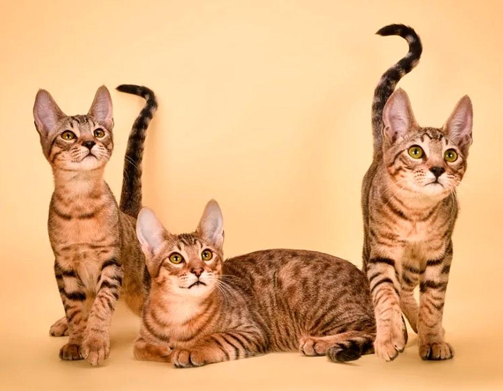 взрослые котята серенгети