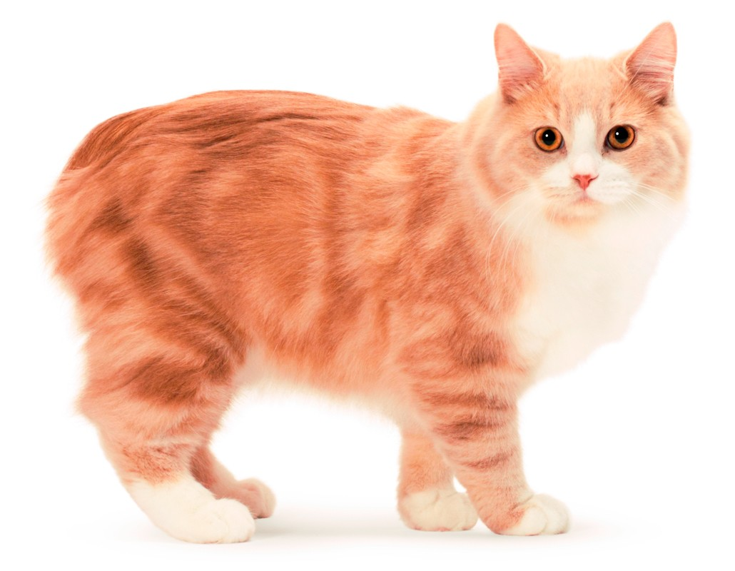 кимрийская кошка (кимрик)